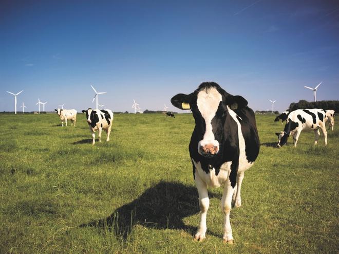 Bò sữa tại Mỹ được chăm sóc và có chế độ ăn đặc biệt