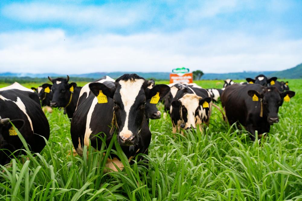 Những cô bò hạnh phúc đang thảnh thơi gặm cỏ mombasa tại Trang trại bò sữa NutiMilk