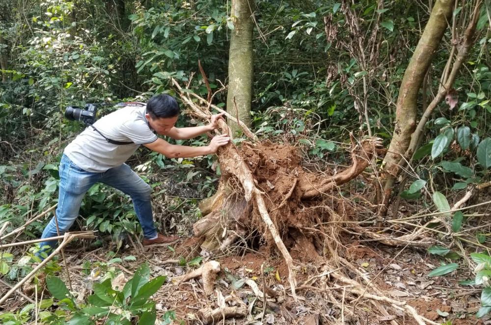 Nhiều cây gỗ của rừng đặc dụng tại xã Vĩnh Hòa huyện Vĩnh Linh đã bị đốn hạ