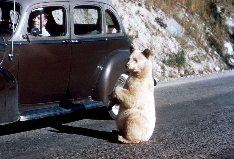 Một con gấu đen bị bạch tạng đang cố tiếp cận một chiếc ô tô trong khuôn viên công viên quốc gia Glacier, Montana