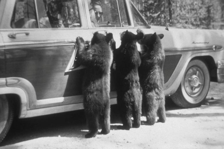 3 con gấu đen cố gắng tiếp cận một chiếc xe ô tô tại công viên quốc gia Yellowstone, Wyoming.