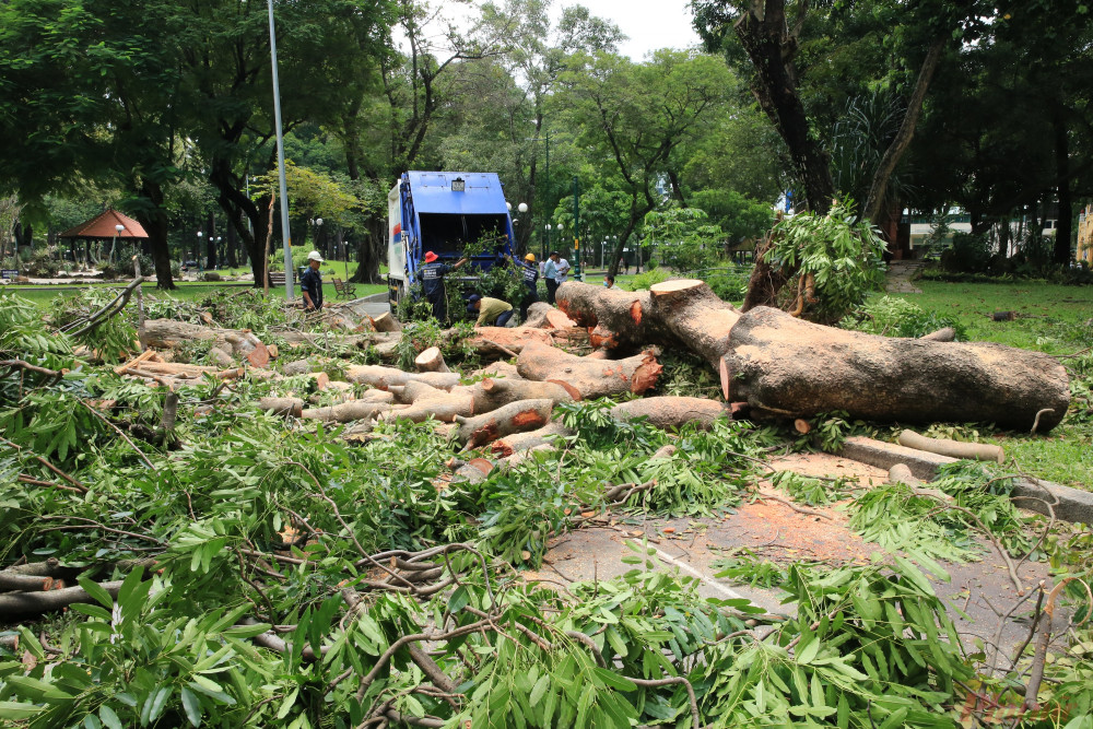 Cây xà cừ hay còn gọi là cây sọ khỉ cổ thụ trong công viên Tao Đàn bật gốc do mưa lớn tối qua 3/9.
