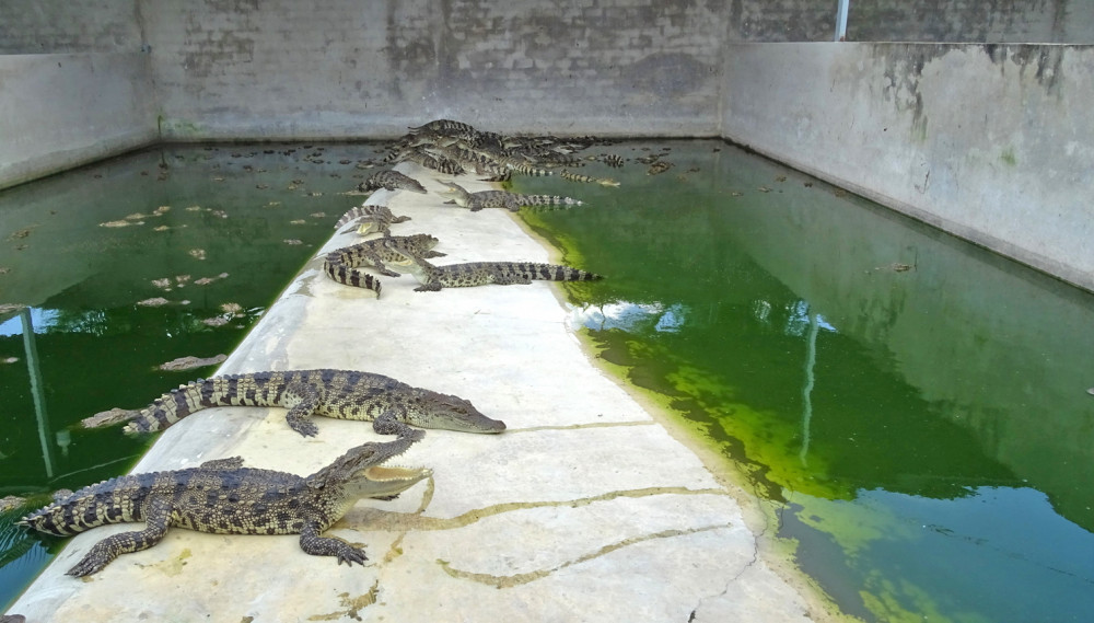 Hàng loạt trại nuôi cá sấu ở tỉnh Bạc Liêu điêu đứng vì cá sấu rớt giá, không được thu mua do ảnh hưởng bởi dịch COVID-19