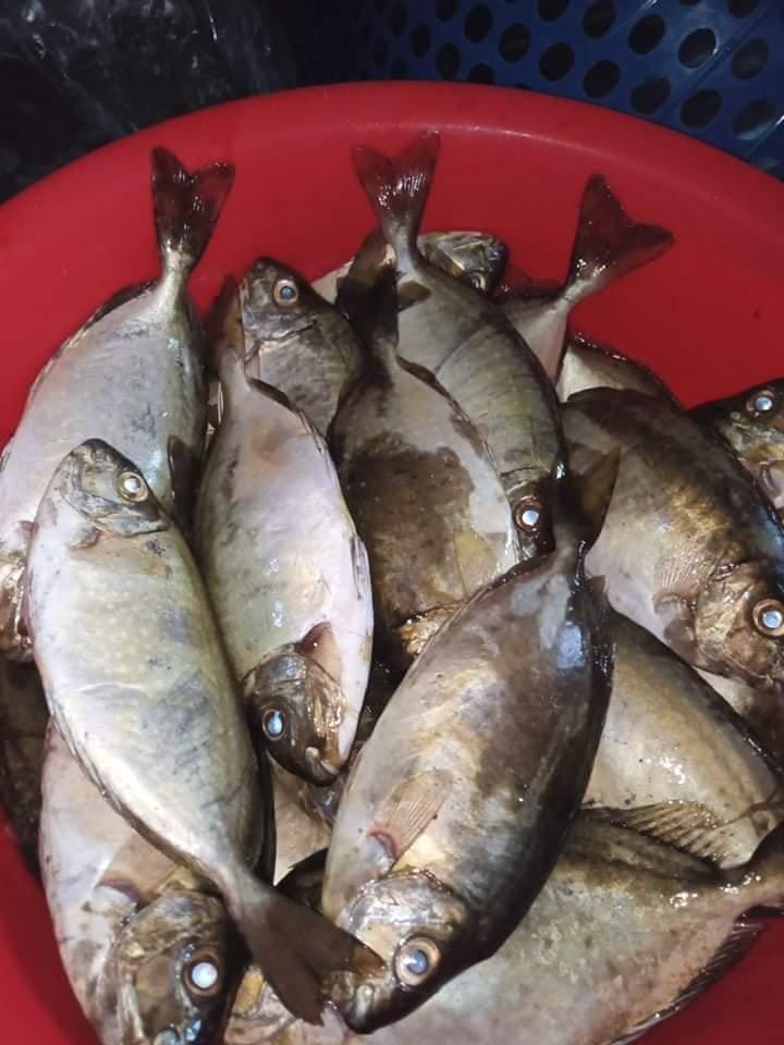 Cá kình vào mùa rất chắc thịt, ngoài làm nhân bánh xèo có thể dùng chế biến những món ăn khác như nấu canh, hấp rau mồng tơi… cũng rất ngon.