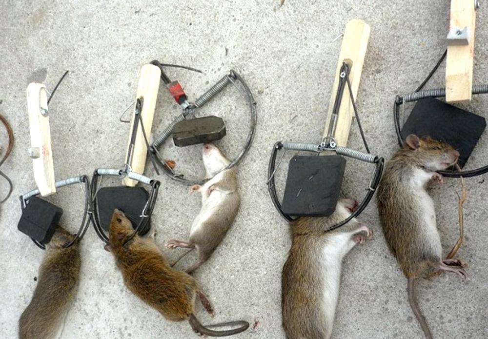 Trừ chuột bằng bẫy chuột là phương pháp an toàn, kinh tế