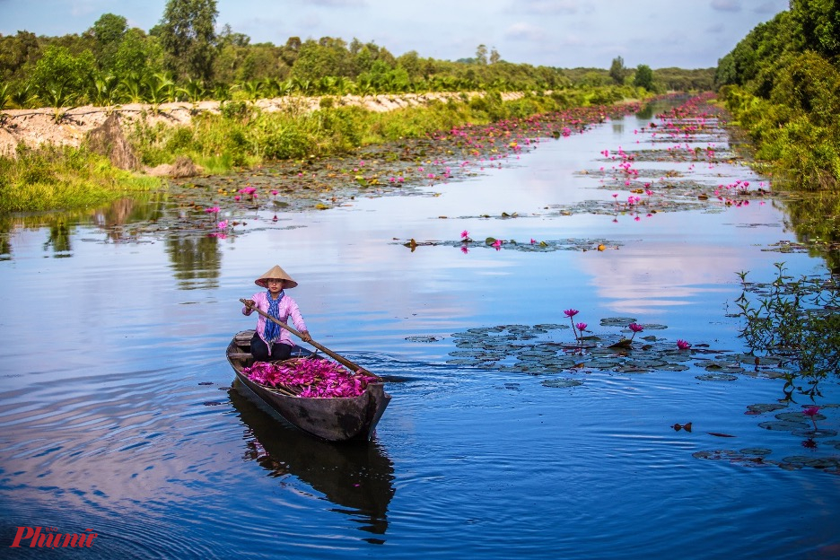 Hoa súng là loài hoa đặc trưng của mùa nước nổi ở đồng bằng Sông Cửu Long, nơi đây có hàng trăm ha trồng súng để thu hoạch và cung cấp cho khắp các tỉnh thành ở vùng Đông Nam Bộ.