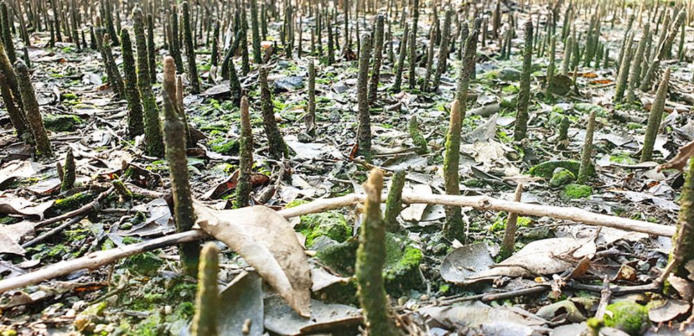 Những khu rừng ngập mặn đang dần kiệt quệ tại Mumbai - Ảnh: NPR