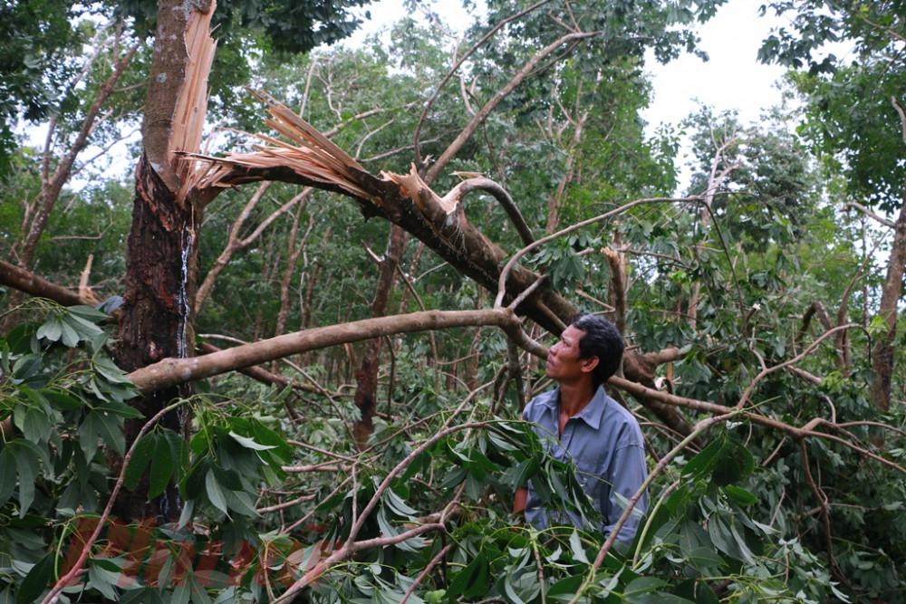Ông Đồng Hữu Sang đau đớn nhìn cây su ngã đổ sau bão