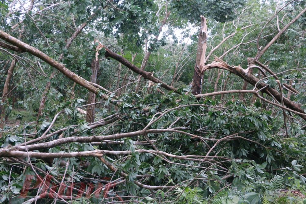 Hàng vạn cây cao su ở Phong Mỹ đến vụ thu hoạch ngã đổ khắp khu vực rừng trồng