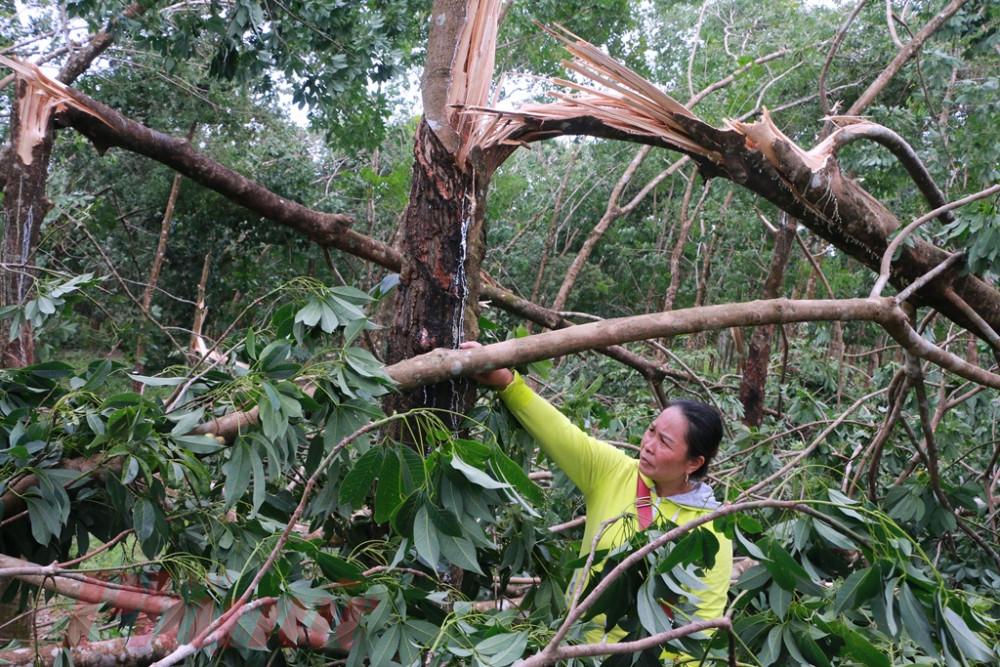 Cao su ngã đổ nằm la liệt trong khu rừng trồng thuộc Khe Mạ xã Phong Mỹ