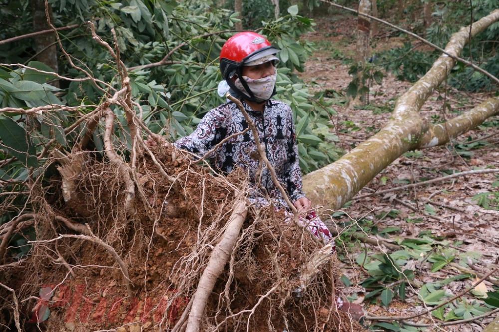 Bà vui thẩn thờ bên khoảnh rừng cao su ngã đổ