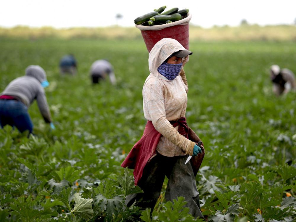 Tình trạng thiếu hụt lao động ngành nông nghiệp khiến Ý phải mở cửa cho lao động nhập cư - Ảnh:
