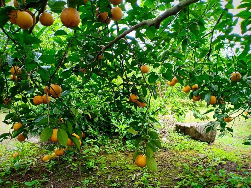 Những trái cam chín mọng an toàn có xuất xứ từ Quỳ Hợp (Ảnh nhân vật cung cấp)