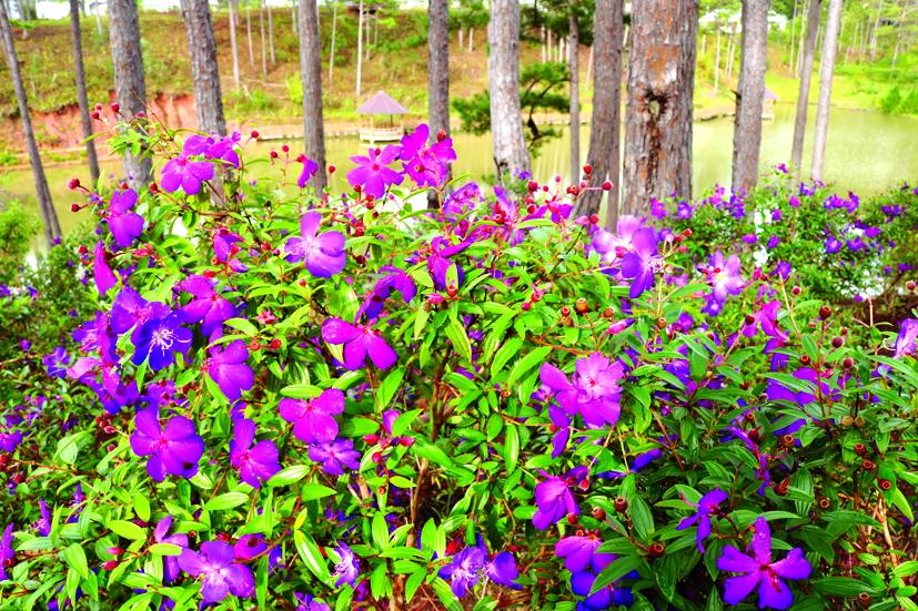Hoa mua tím lãng mạn ven đồi ở nơi lưu trú của vườn Quốc gia Bidoup Núi Bà