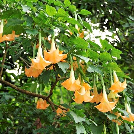 Cây hoa chuông là cây mọc dại hoặc được trồng làm cảnh khá phổ biến tại Lạng Sơn.