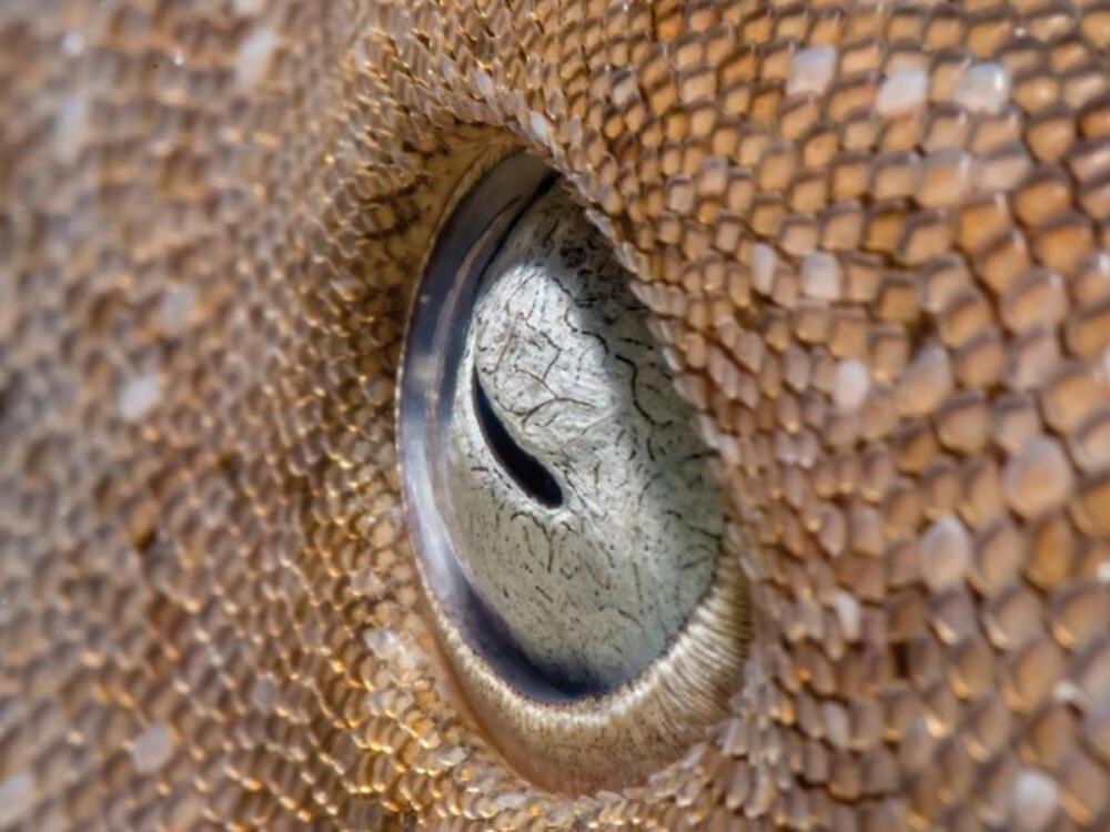 Đôi mắt cùng làn da sần sùi của con cá mập bản lè được nhiếp ảnh gia Robert Stansfield chụp tại Banco Chinchorro, Mexico. Ảnh đạt giải Á quân 2 hạng mục ảnh chụp cận cảnh.