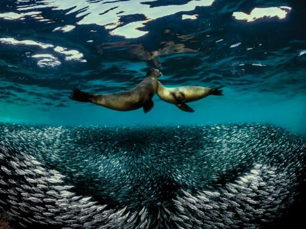 Bức ảnh ấn tượng của nhiếp ảnh gia Raffaele Livornese chụp khoảnh khắc sư tử biển đang truy đuổi, săn cá mòi ờ Baja California, Mexico.