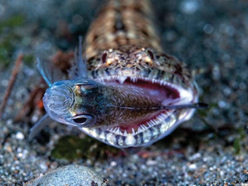 Giải Á quân trong hạng mục ảnh hành vi được trao cho nhiếp ảnh gia Jerry Arriaga, với bức ảnh ghi lại cảnh con cá mối biển