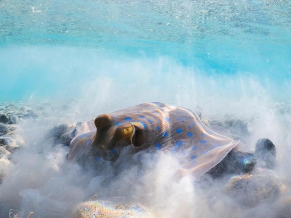 Nhiếp ảnh gia Thomas Van Puymbroeck bắt được khoảnh khắc con cá đuối gai đang lục tung một vùng cát để tỉm ăn sinh vật nhỏ tại Marsa Alam, Ai Cập. Bức ảnh đạt giải Á quân 2 trong hạng mục