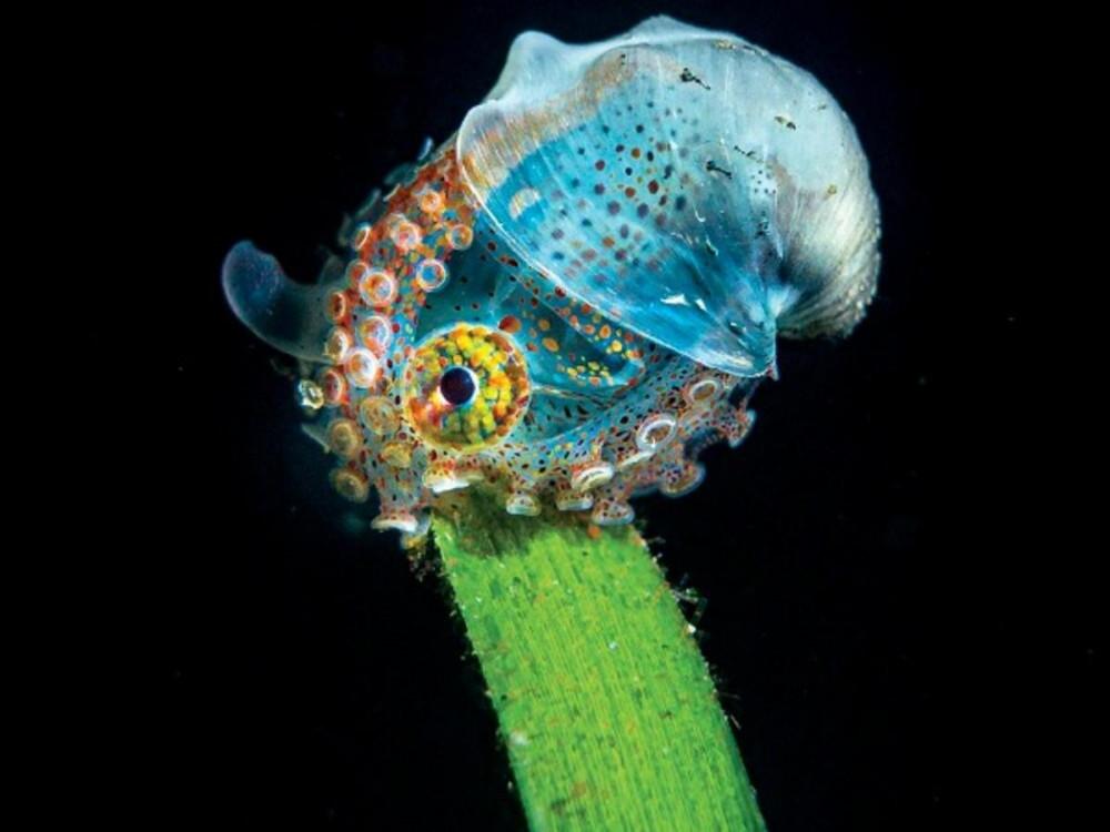 Nhiếp ảnh gia Tobias Friedrich đạt giải ở hạng mục ảnh chụp bởi máy ảnh compact. Bức ảnh chụp một con bạch tuộc Wunderpus rực rỡ đang nằm trên chiếc lá tại vùng biển Anilao, Philippies. Loài bạch tuộc này phân bố chủ yếu trong vùng nước nông từ Bali và Sulawesi về phía bắc đến Philippines tới Vanuatu