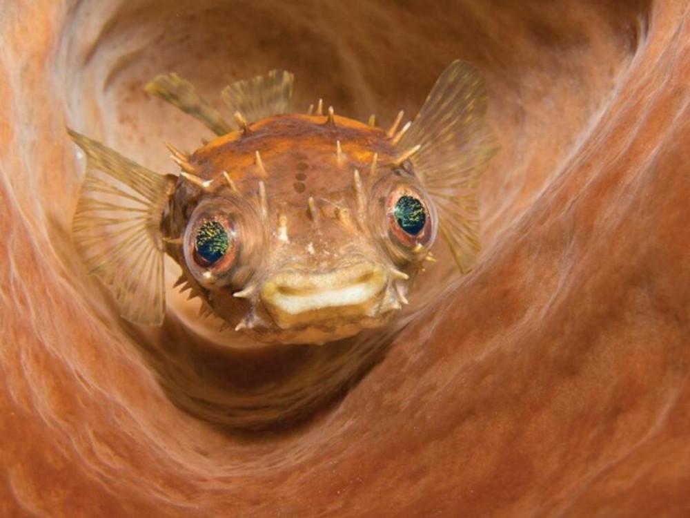 Á quân ở hạng mục này thuộc về nhiếp ảnh gia Marcelo Johan Ogata, với bức ảnh ghi lại con cá mặt cười đang bơi lội tại Lembeh Strait, Indonesia.