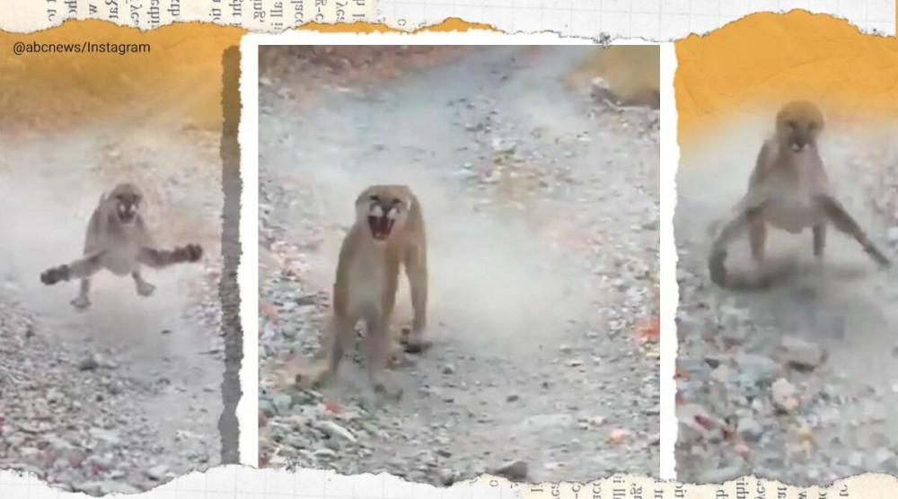 Con báo sư tử liên tục thể hiện sự tấn công người đàn ông mà nó cho là đang muốn bắt con của nó - Ảnh cắt từ clip