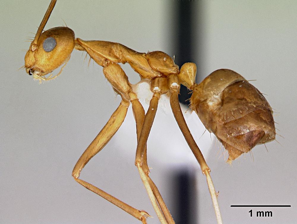 Hình phóng lớn của một con kiến vàng điên (Wikimedia).