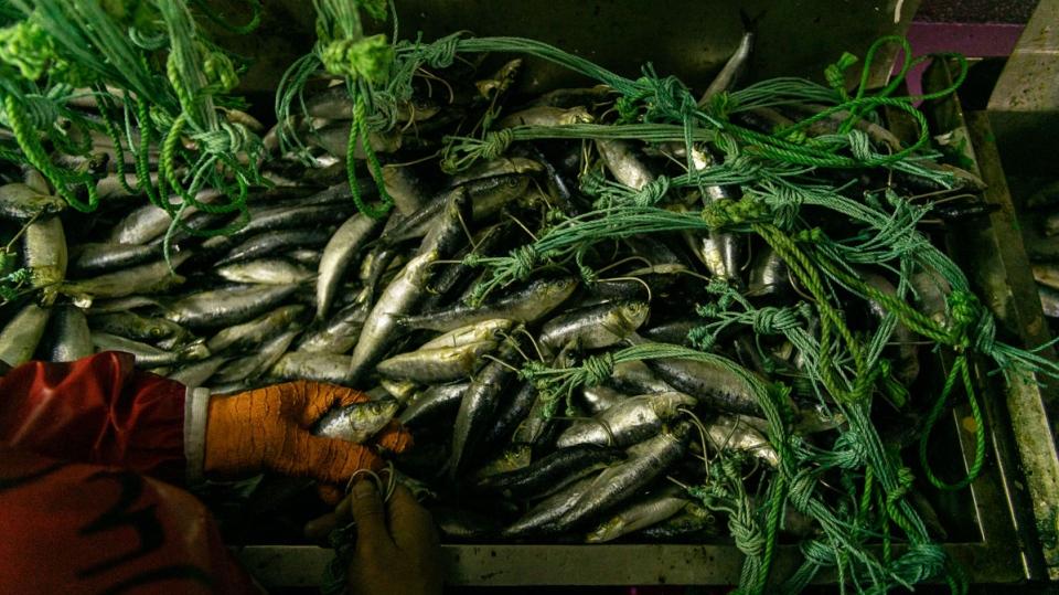 Phân loại cá trên tàu đánh cá xa bờ ở Nam Cực - Ảnh: Outlaw Ocean Project