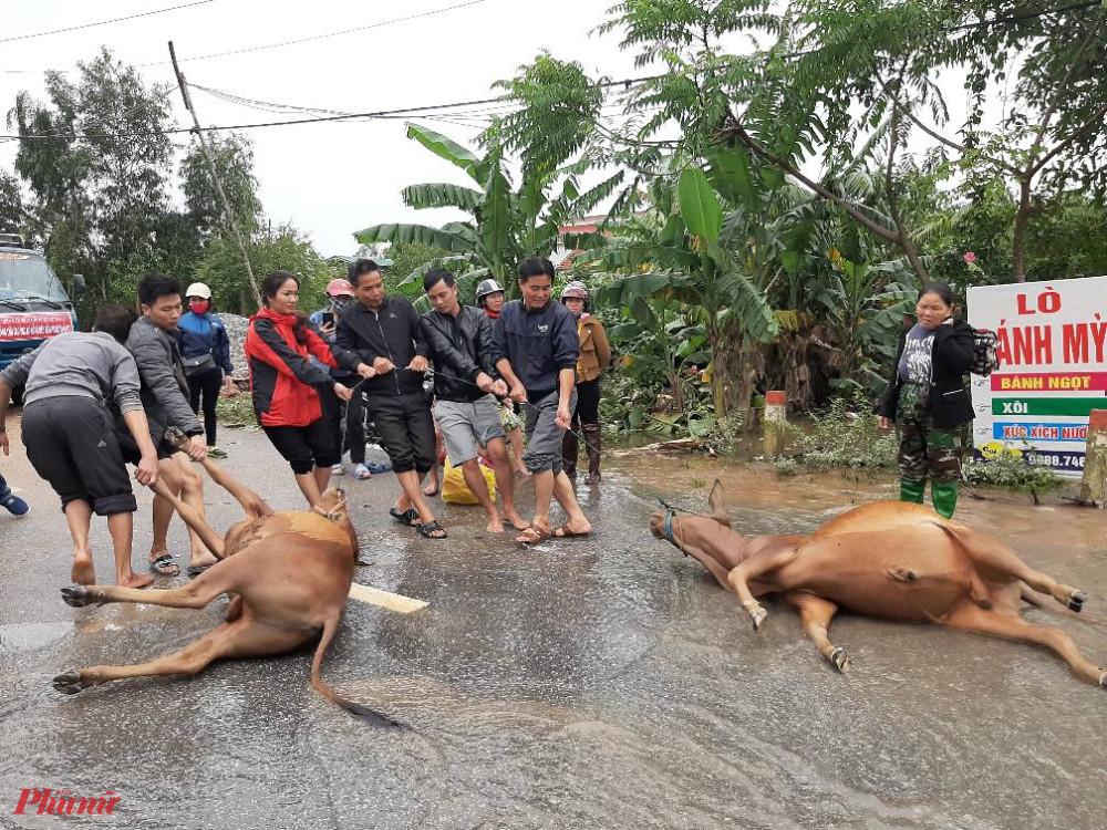 Nhiều trâu bò chết do không kịp di dời