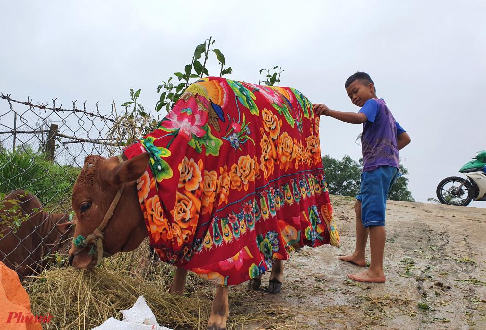 Trùm chăn phủ ấm cho bò sau nhiều ngày dầm mưa lũ