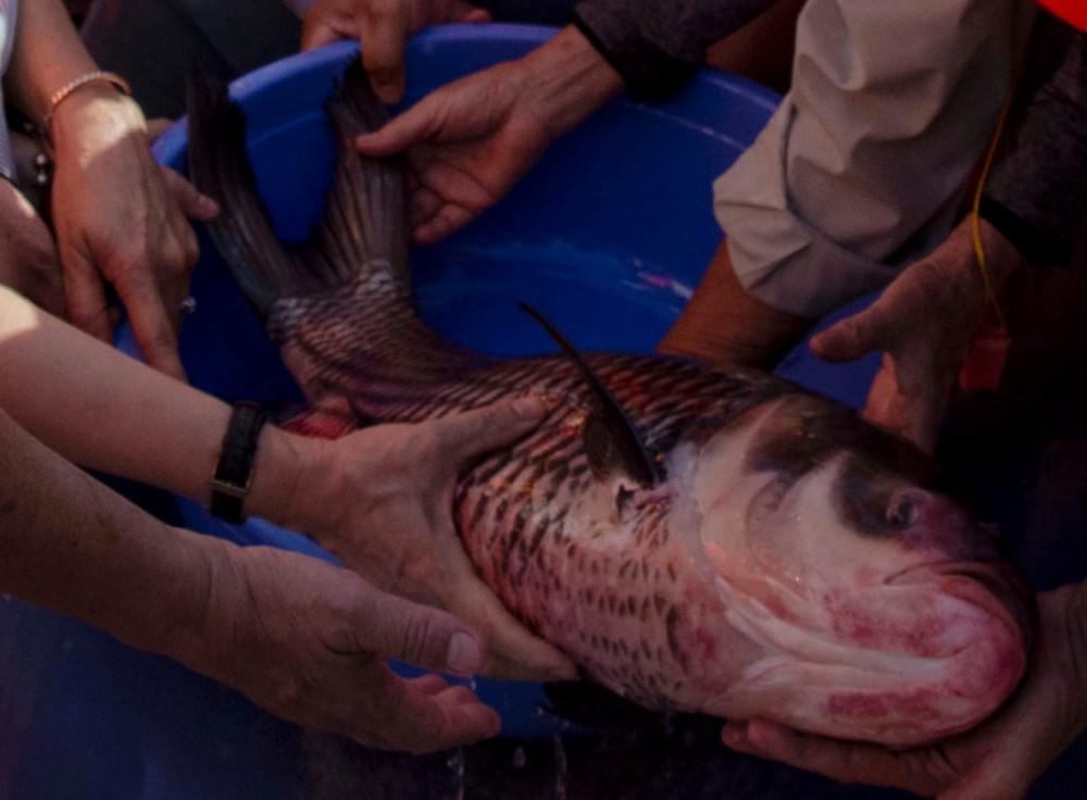Giống cá hô ngày càng trở nên quý hiếm đối với người dân đồng bằng