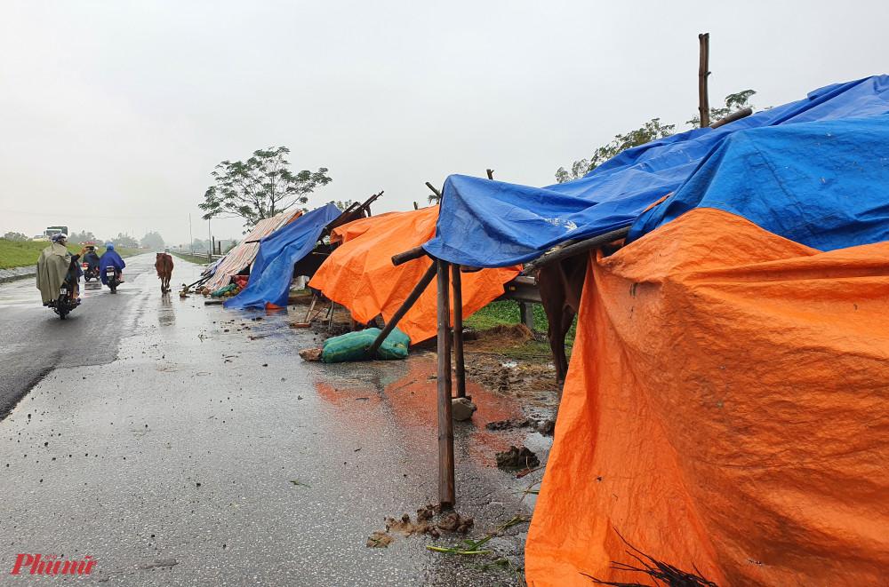 Những túp lều tạm tránh mưa cho đàn trâu bò bên đường