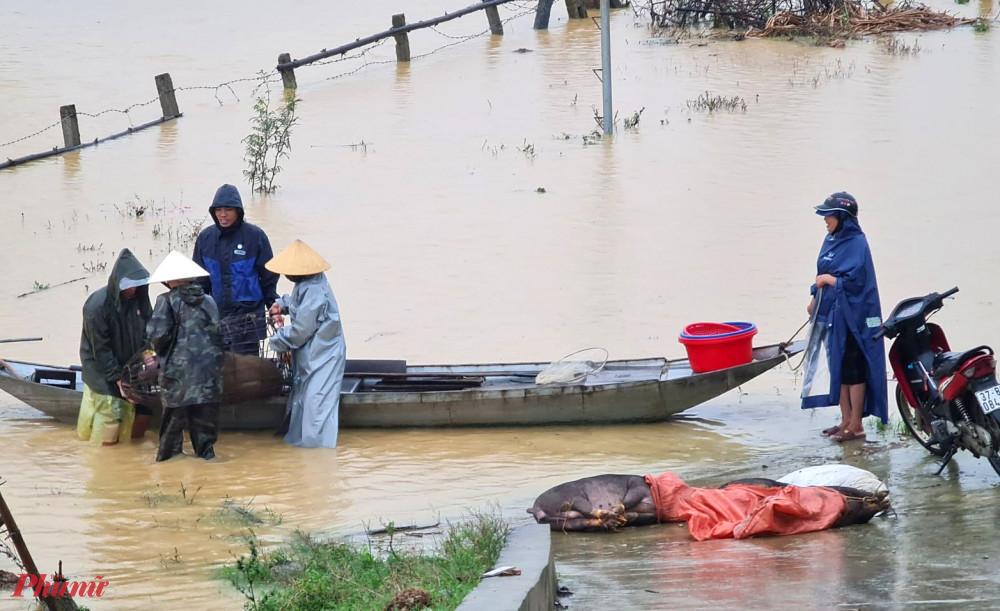 Người dân dùng thuyền vận chuyện heo ra bờ đê tránh lũ