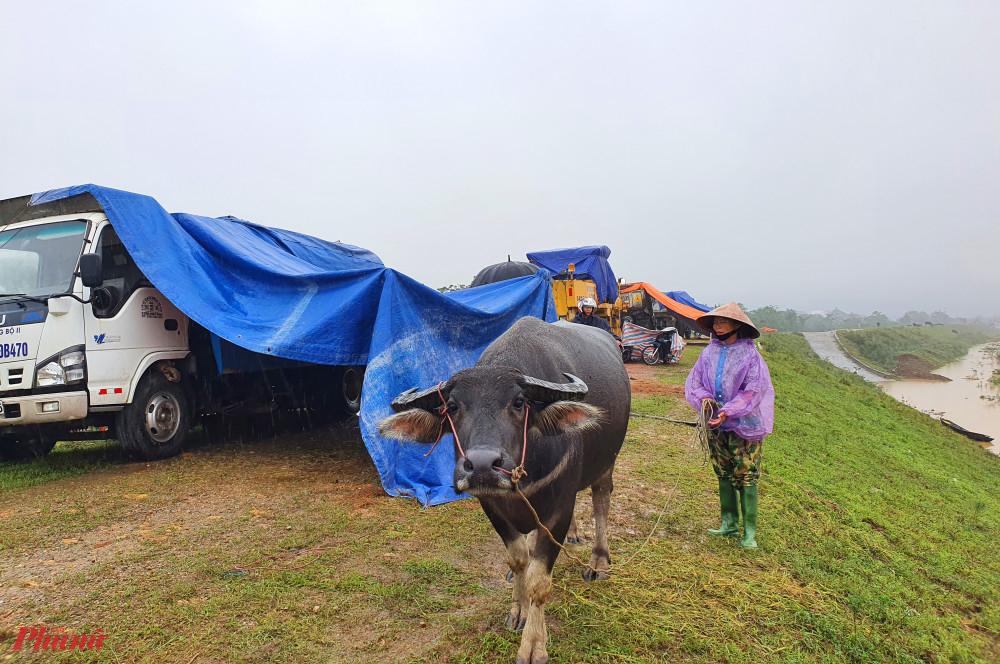 Đê chống lũ trở thành nơi tránh lũ cho trâu bò, phương tiện