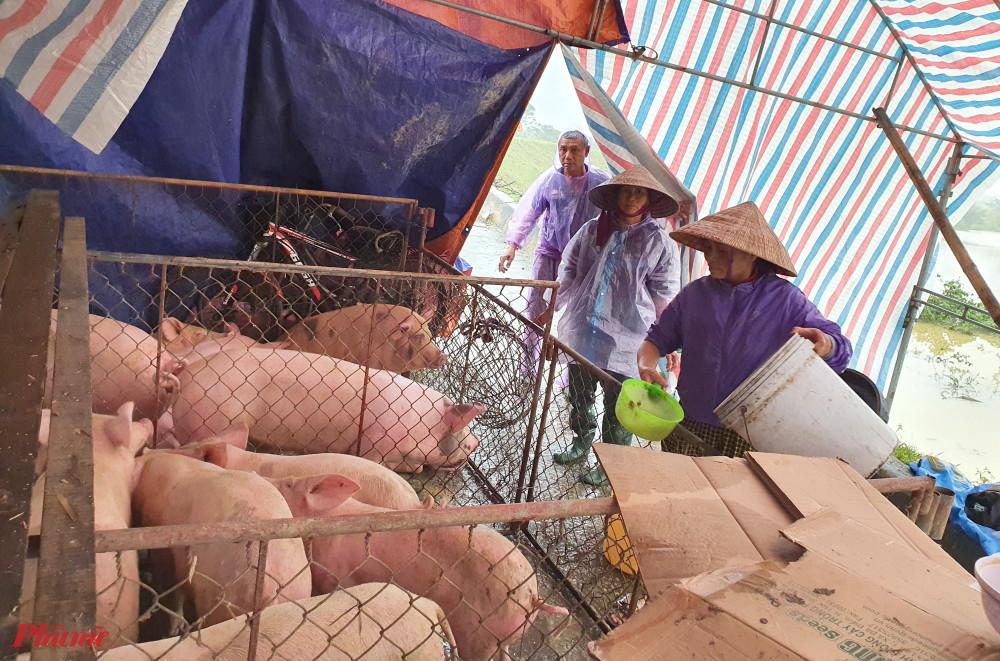Số lợn heo nhiều, vợ chồng bà Kiên đầu tư cả nhà rạp bằng ống tuýp sắt để chạy lũ