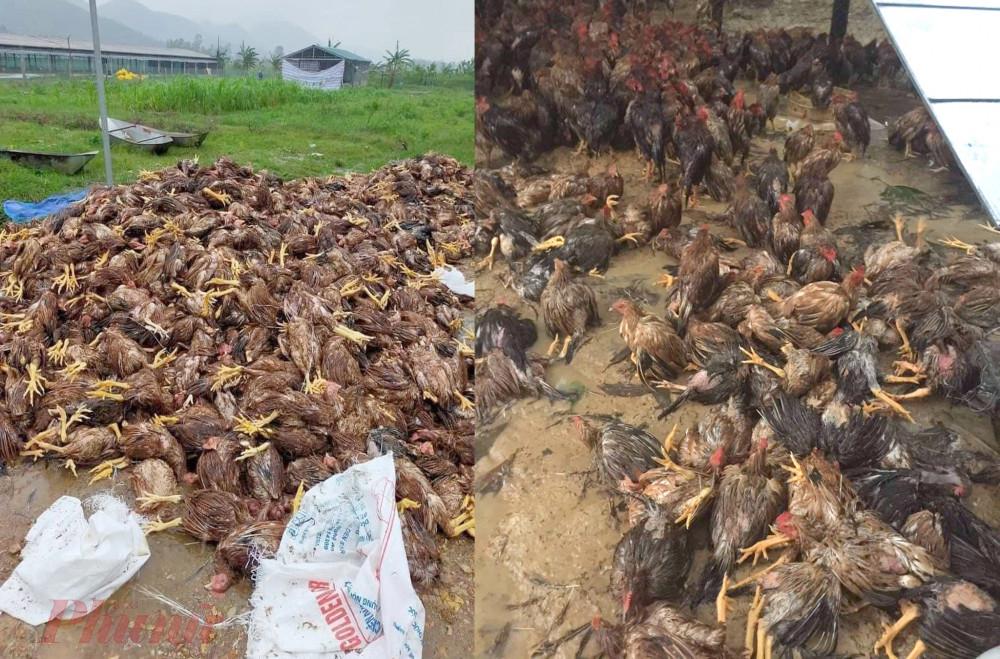 Trại gà 10.000 con của anh Nhàn bị xóa sổ sau cơn lũ