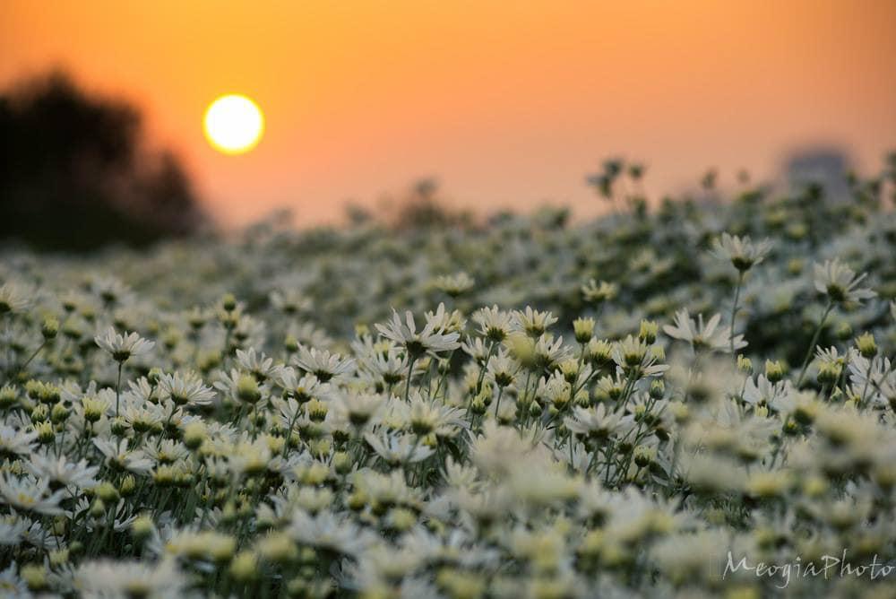 Cúc họa mi trắng ngần, từng cánh đơn nhỏ bé xếp xòe xung quanh nhụy hoa vàng tươi, như ôm lấy nhau, bao bọc lấy nhau trước những cơn gió đầu đông se se lạnh.