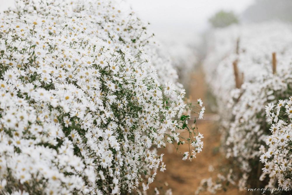 Cúc họa mi hay còn gọi là daisy, hoa có màu trắng, nhỏ xinh và thường được trồng ở bãi sông Hồng.