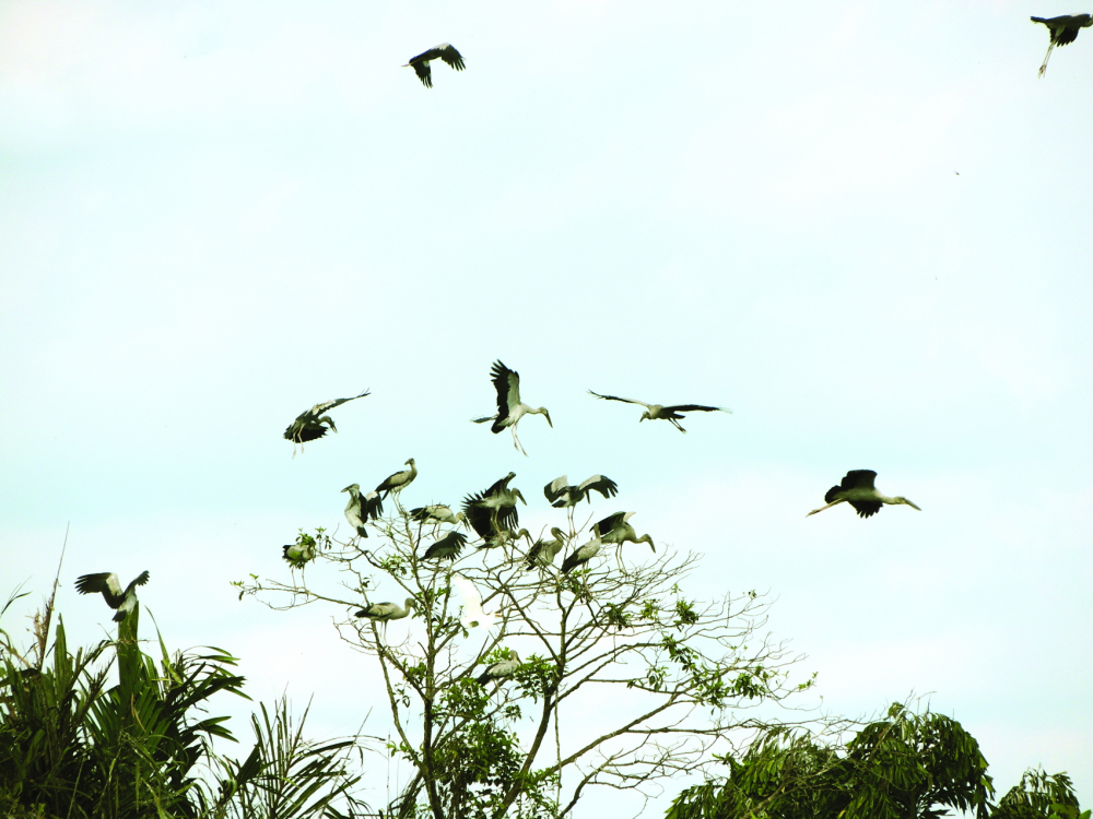Từng đàn chim trời  kéo về vườn nhà ông Hai Chìa nhiều đến hàng vạn...