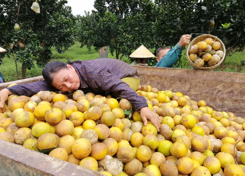 Vợ anh Hạnh nuối tiếc khi từng xe tải chở cam mang đi tiêu hủy