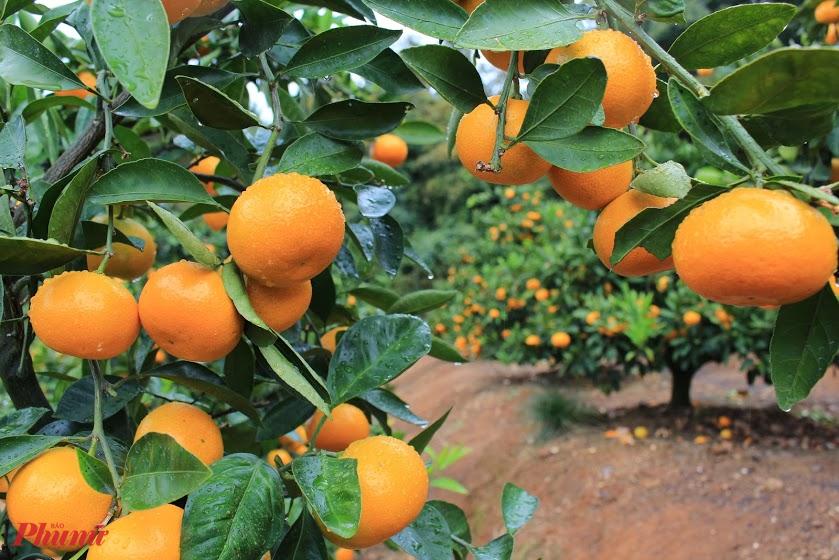Không biết những vườn cam của Nhật trông như thế nào nhưng vườn cam mà chúng tôi tham quan không giống các loại cam được trồng ở Việt Nam mà về cơ bản, màu sắc, hình dáng tương tự với quýt Trung Quốc, song kích thước nhỉnh hơn.