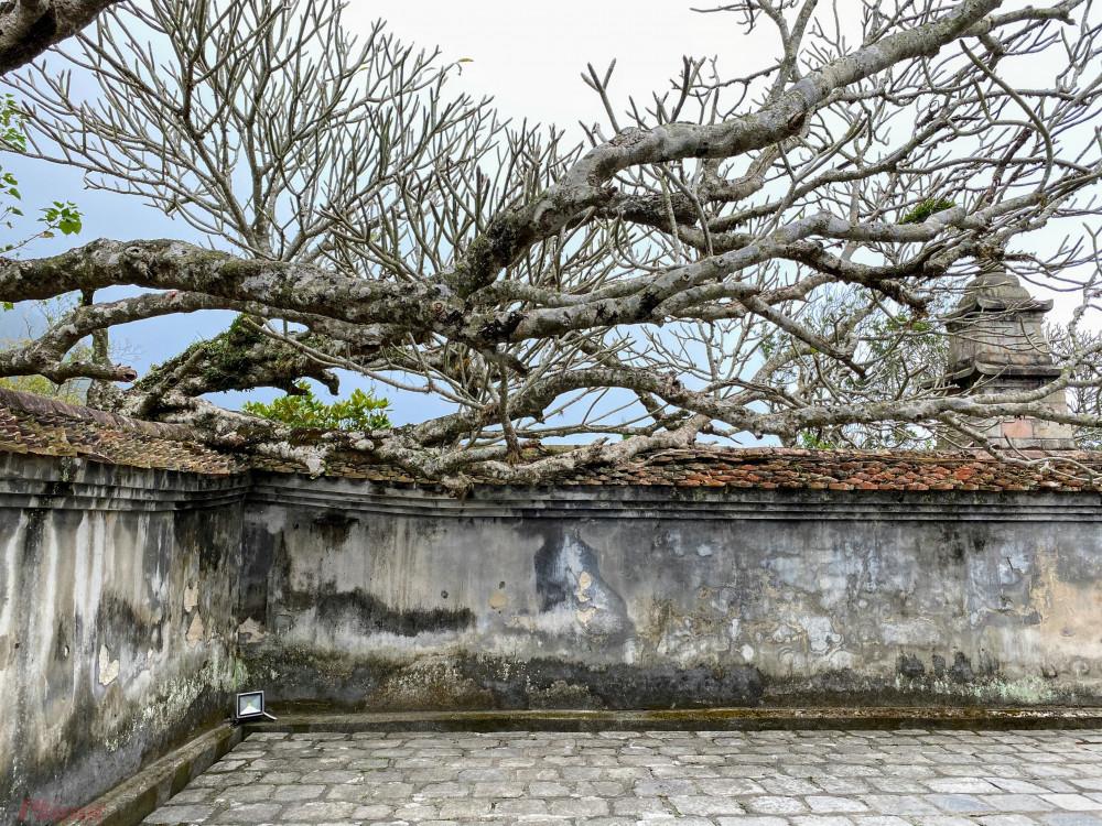Những bức tường rêu phong 'ăn' nhưng cây sứ đại lâu năm tại đây.