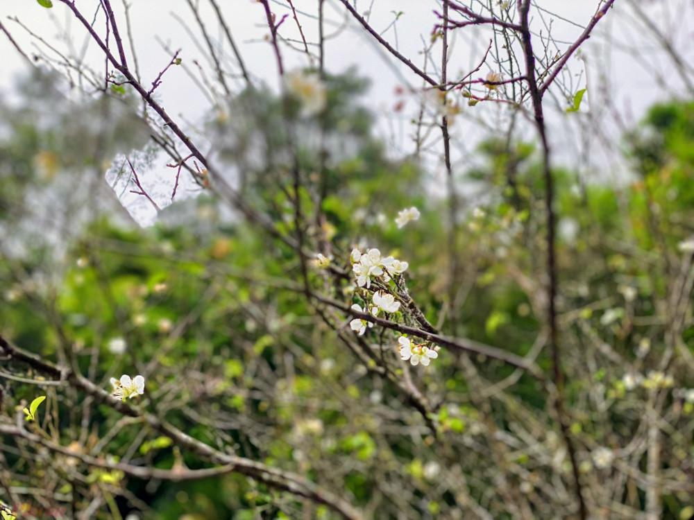 Vào thời gian nay, trên một vài đoạn lên núi Yên Tử khách có thể bắt gặp những bông hoa mở nở ven đường.