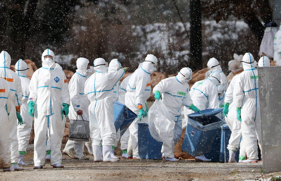 Nhật Bản đã tiêu hủy hơn 1 triệu con gia cầm vì dịch cúm, bắt đầu nổi lên từ tháng 11/2020.
