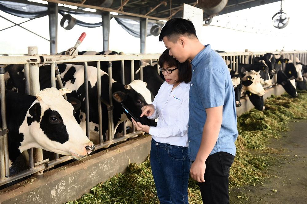 Gần 50% nhân viên cấp quản lý của FrieslandCampina Việt Nam là nữ. Trong ảnh, chị Khúc Thị Huê - Trưởng phòng Phát triển ngành sữa đang hướng dẫn kỹ thuật cho nhân viên trang trại bò sữa tại Hà Nam. Ảnh: FrieslandCampina Việt Nam cung cấp