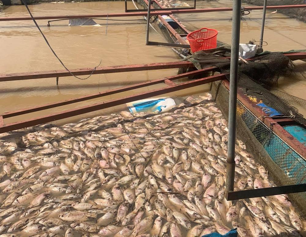 Cá chết trắng nổi trên mặt nước