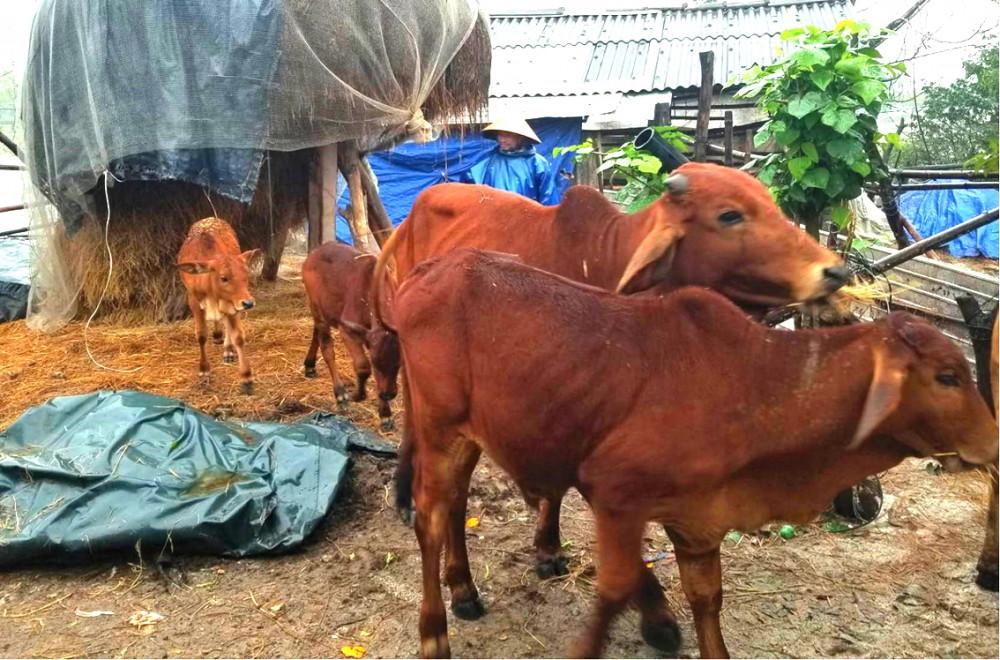 Người dân xã Lâm Đớt, H.A Lưới đưa trâu bò nuôi thả tự do về nhà tránh rét