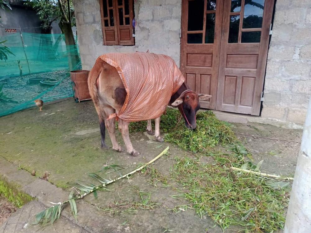 Đưa bò về nhà chăm sóc tránh rét kéo dài ngày