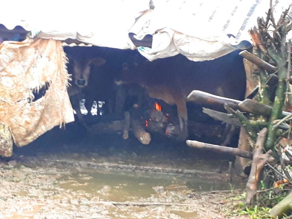 Người dân A Lưới đốt lửa sưởi ấm cho bò