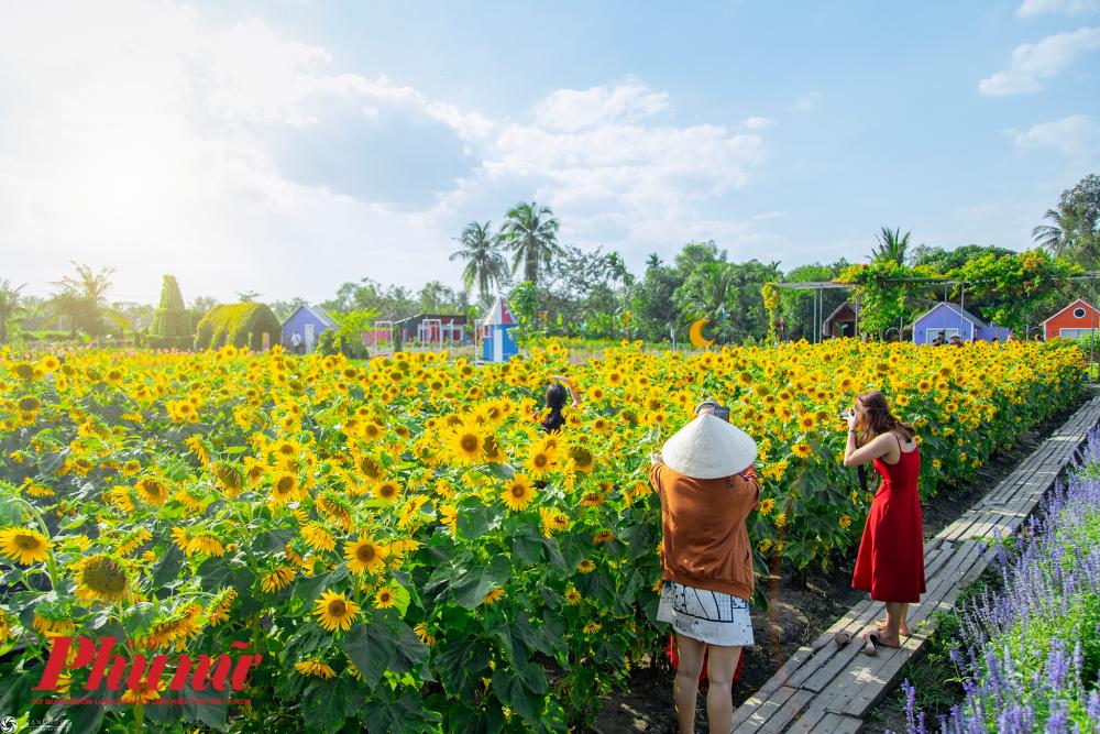 Những luống hoa hướng dương vươn mình đón cái nắng tươi nguyên tháng Chạp, thu hút nhiều du khách đến tham quan chụp ảnh Tết.